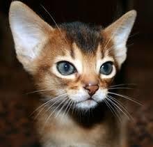 Abessiinia kass
