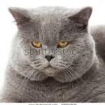 Briti lühikarvaline kass