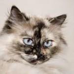 Himaalaja kass