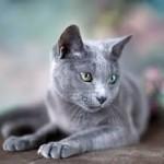 Vene sinine kass